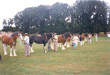 Clydesdales